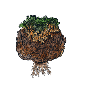 Illustration of a Resurrection Plant (Rose of Jericho)